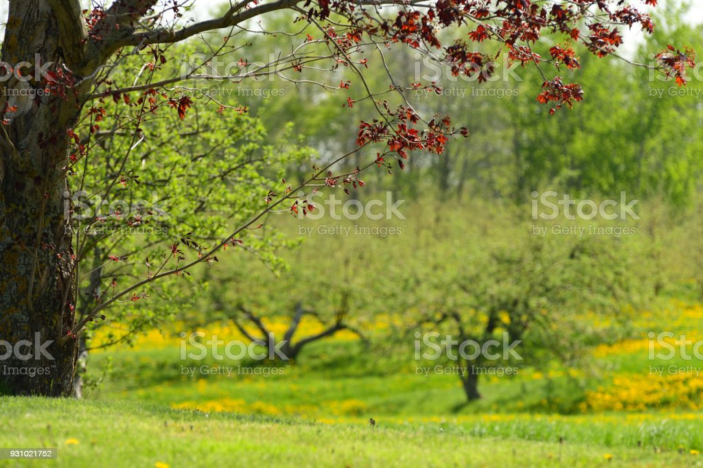 New Spring Leaves on Tree in Apple Orchard Close Up Abstract (Nova Scotia Canada) stock photo