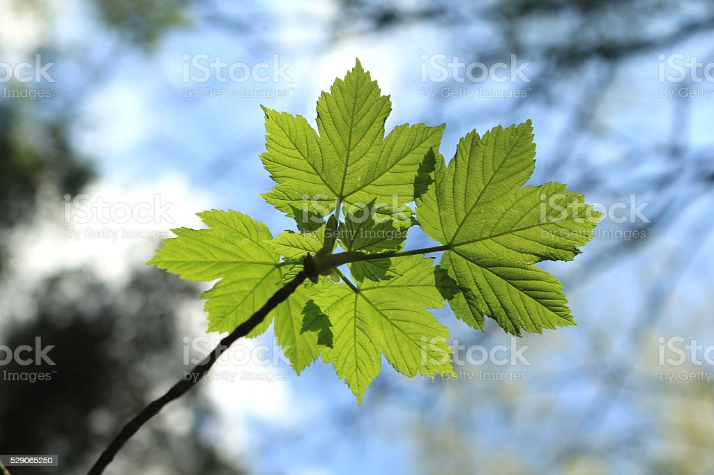 New spring leaves stock photo