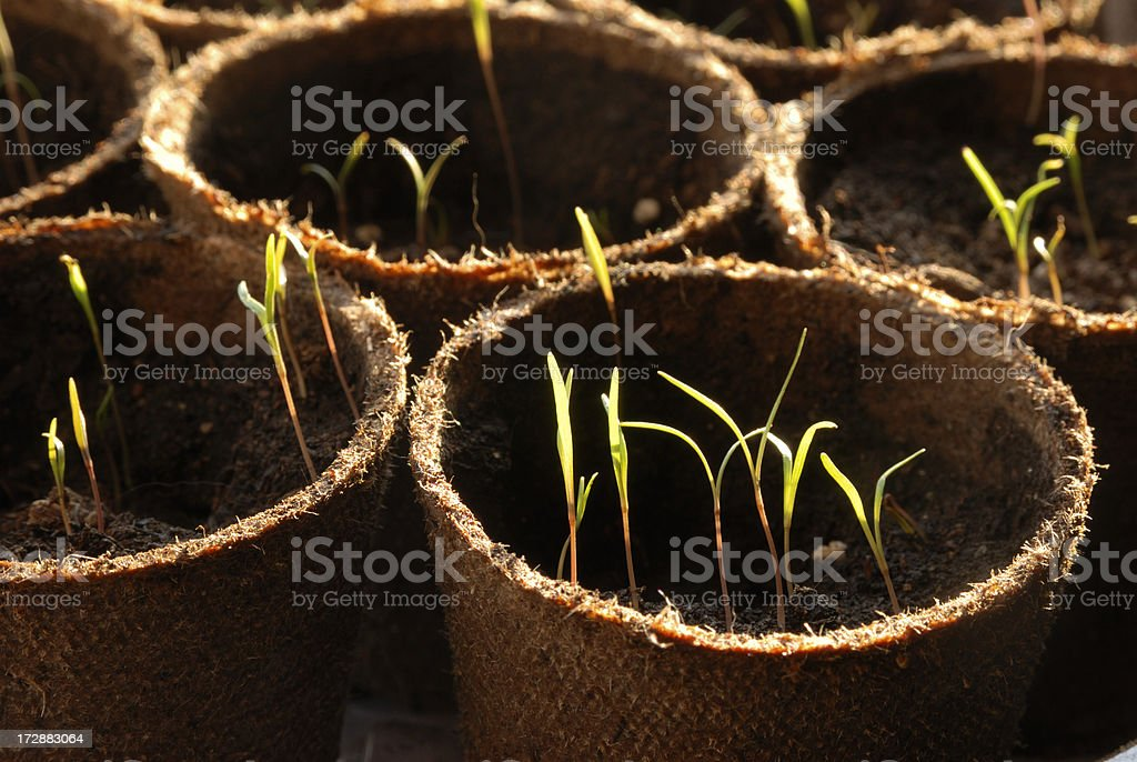 New Sprouts royalty-free stock photo