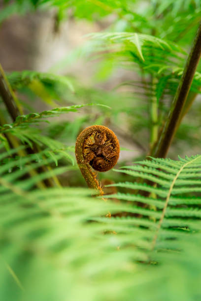 A new start, a fern frond opens in amongst a blurred green background of leaves with a single new growth. Curled new fern frond beginning to open. stock photo