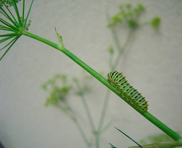 New Swallowtail Caterpillar stock photo