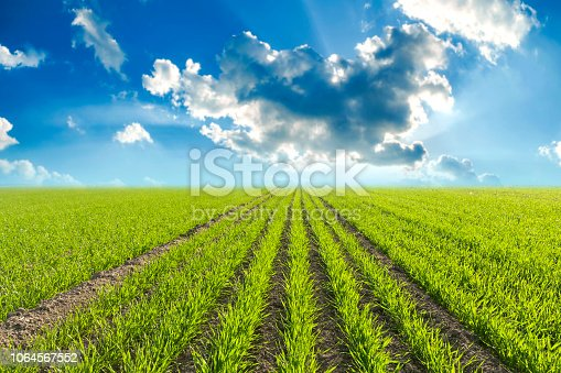 Seedling, Corn - Crop, wheat, Dirt, Lawn,sprout,growth