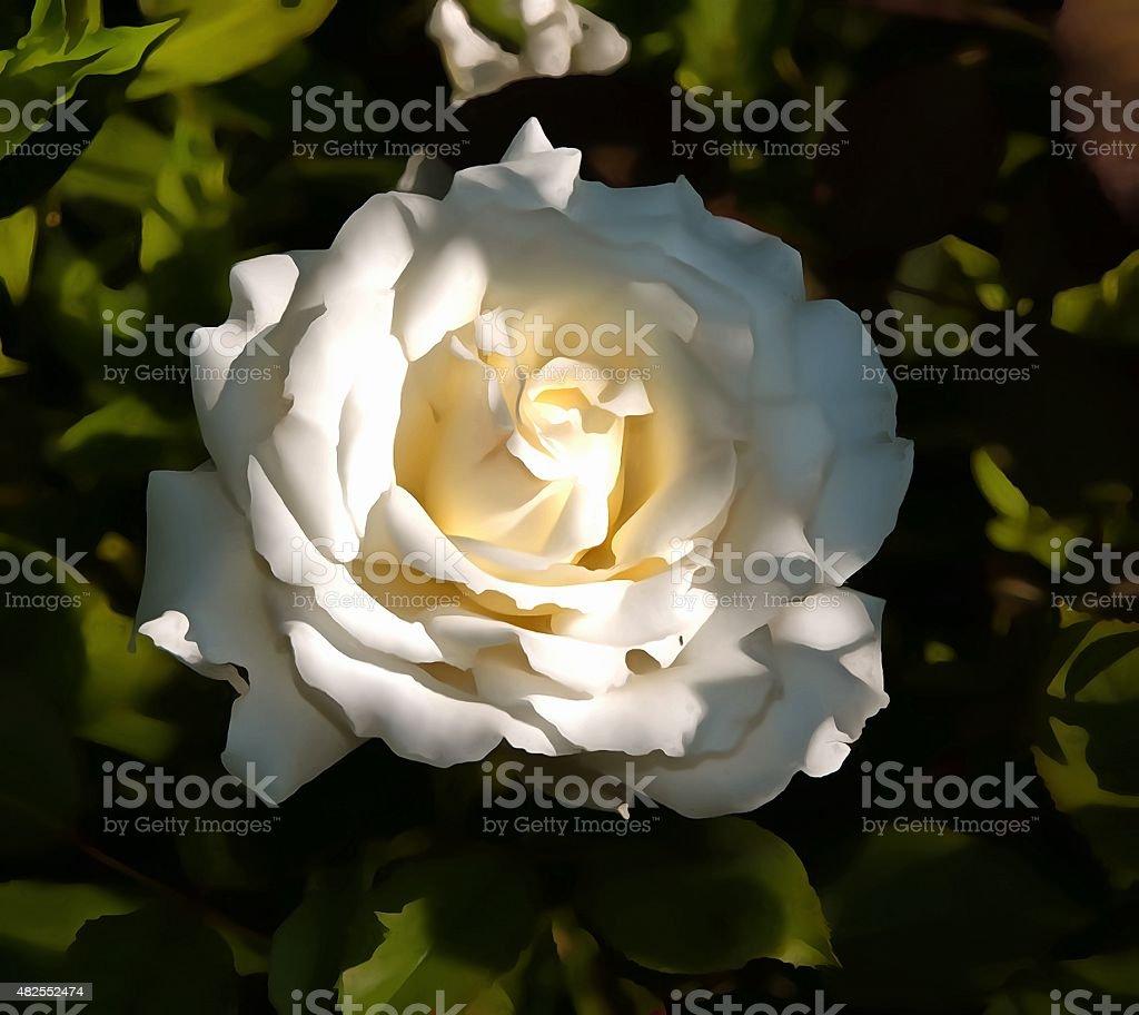 New white rose stock photo