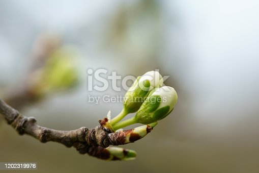 New winter buds of a cherry tree (prunus avium) with green sepals and white petals sprouting in German orchard in spring. Close-up macro shot with background blur and copy space, horizontal format