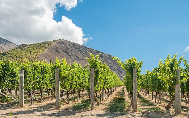 New World wines - vineyard in New Zealand stock photo
