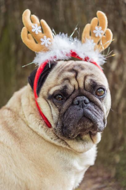 neues jahr. ein hund der rasse mops in einem neujahr anzug. - deko geweih stock-fotos und bilder