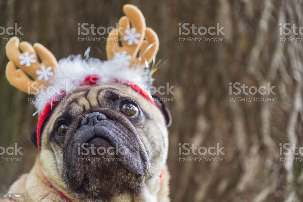 New Year. A dog of the pug breed in a new-year suit. stock photo