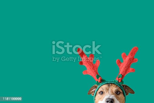 Head of Jack Russell Terrier with deer antlers