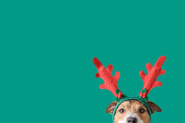 トナカイの角を着用した犬との新年とクリスマスのコンセプトは、固体緑の背景に対してヘッドバンド - クリスマス ストックフォトと画像