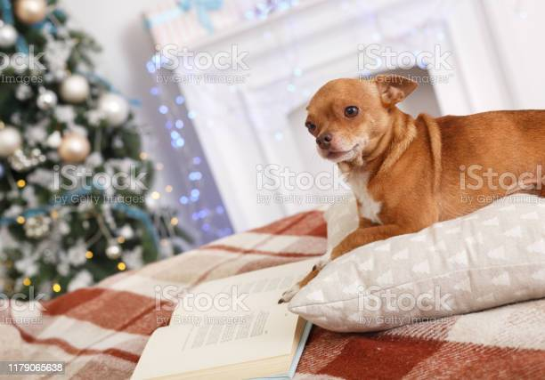 New year decorated room with dog lying on pillow with book happy picture id1179065638?b=1&k=6&m=1179065638&s=612x612&h=qfgfhtx5bgdifix41nfk0v6ucbrxlthk34w4wvzmwfw=