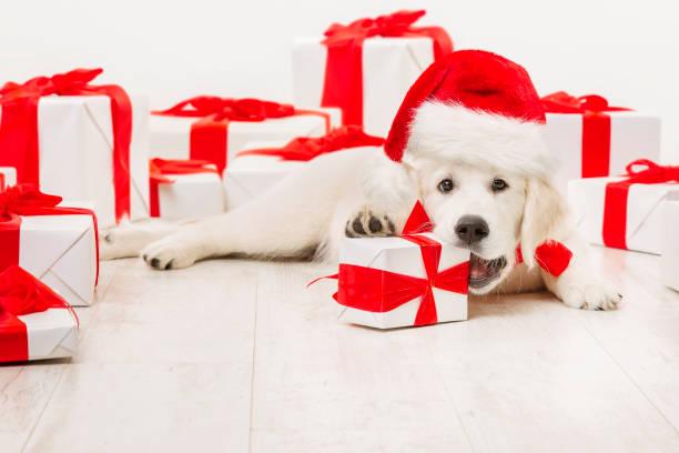 New year dog present gift funny christmas white retriever santa red picture id874991746?b=1&k=6&m=874991746&s=612x612&w=0&h= jqqpfbx7pjyjh6n1ichujyrlogeoj3cpflawjgoppo=