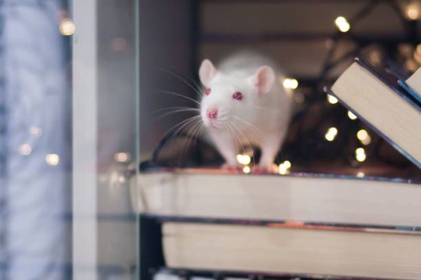 new year holiday concept. white rat in the bookcase. symbol stock photo