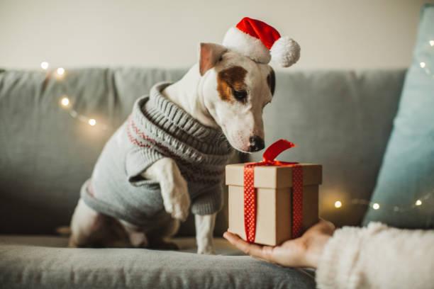 nieuwjaar aanwezig voor hond - christmas stockfoto's en -beelden