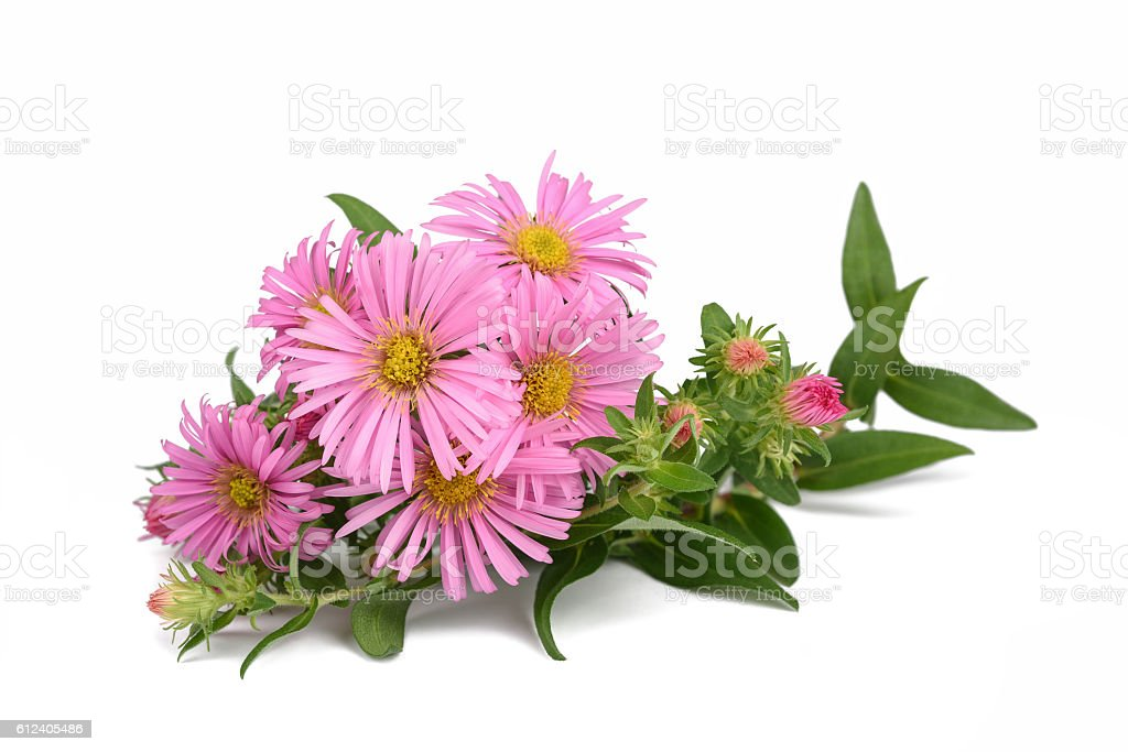 New York aster stock photo