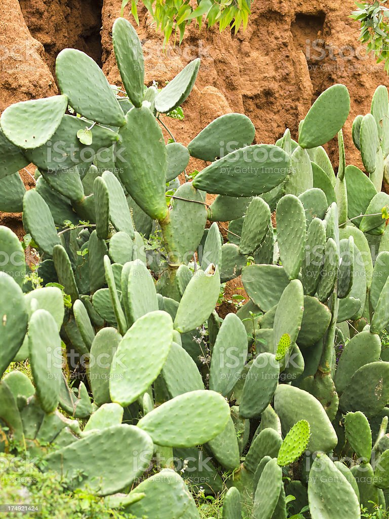 New York cactus royalty-free stock photo