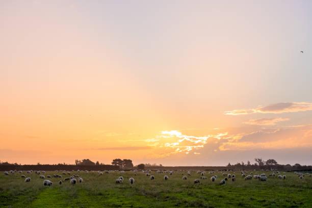 Neuseeländische Landwirtschaft. Schafe und Grünland im ländlichen Gebiet. Sonnenuntergang mit warmen hellen und blauen Himmel-Szene. – Foto