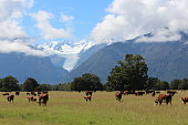 Beautiful environment in New Zealand with a field of cows and the impressive Fox Glacier in the background.