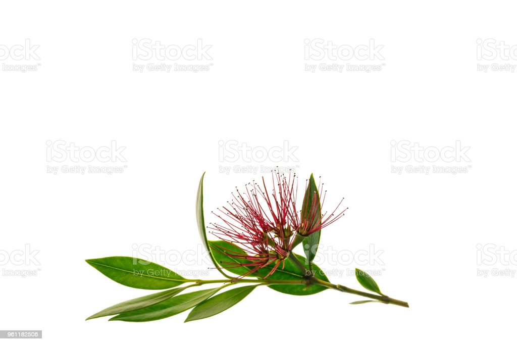 New Zealand Christmas Tree Flowers Isolated On White Background