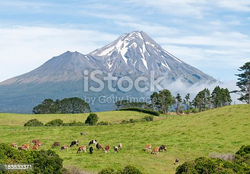 A herd of dairy cows feeding in front of Mount Taranaki (also known as Mt Egmont) in the South West of New Zealand's North Island.