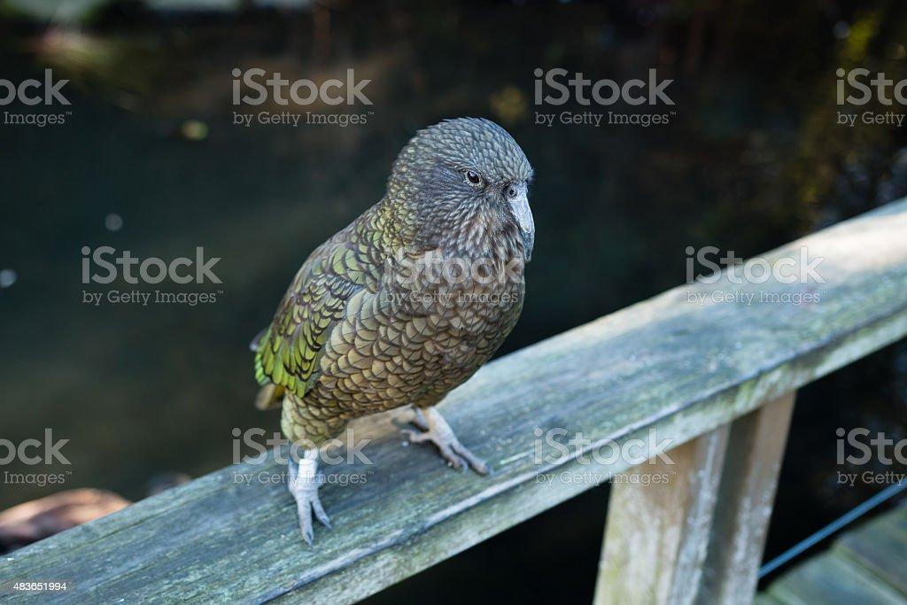 New Zealand endemic alpine parrot Kea stock photo