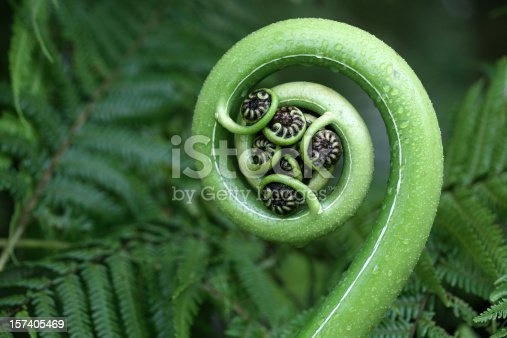 New tree fern frond, koru symbol. Focus is on the centre on the frond.