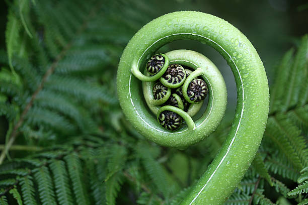 new zealand fern - maori stock photos and pictures