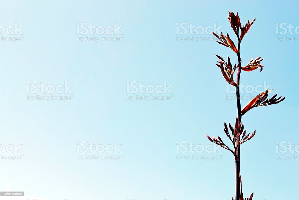 New Zealand Flax Flower and Sky Copyspace stock photo