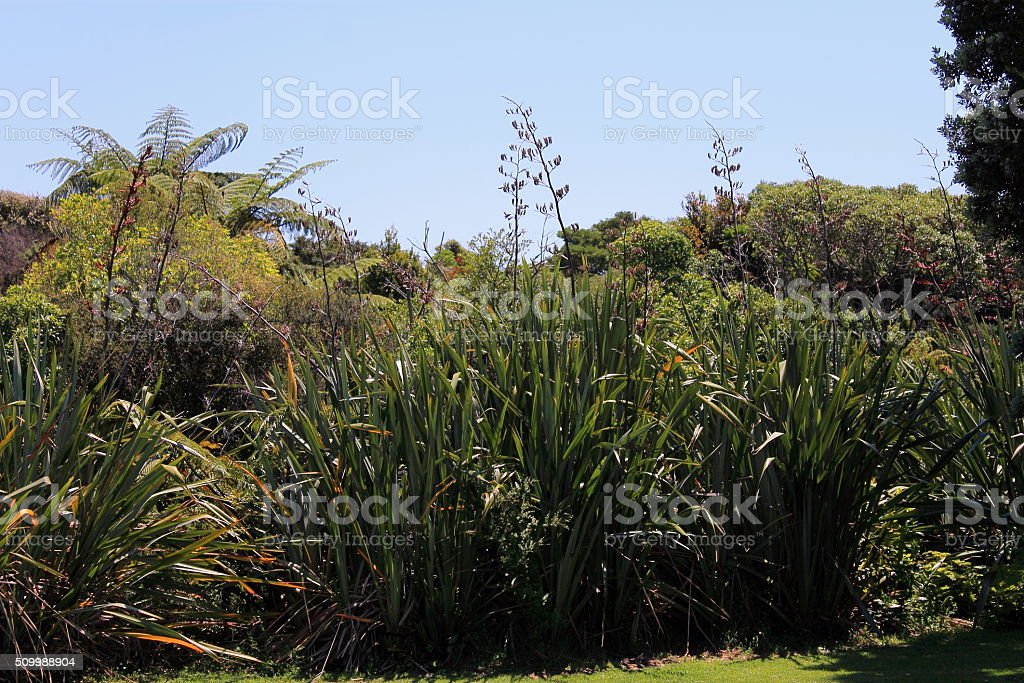 New Zealand Flax in Flower stock photo