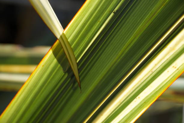 neuseeland-flachs oder harakeke - blumenstreifen stock-fotos und bilder