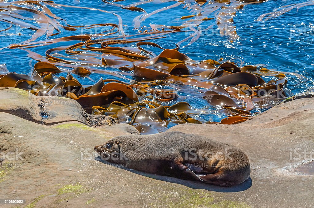 New Zealand fur seal at coast, sunbathing on a rock stock photo