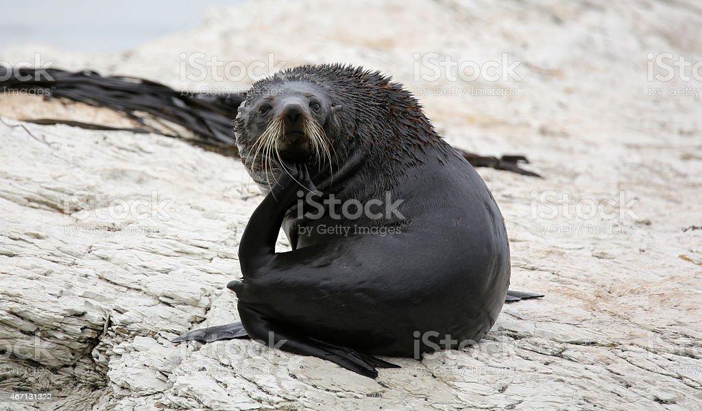 New Zealand Fur Seal near Kaikoura (New Zealand) stock photo