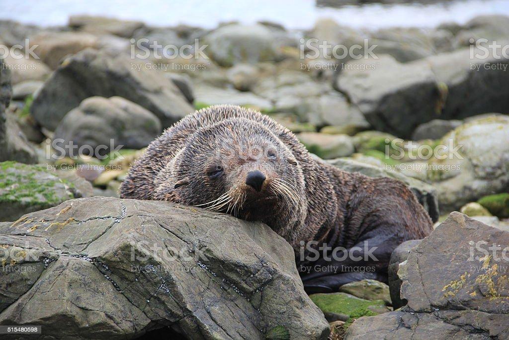 New Zealand Fur Seal stock photo