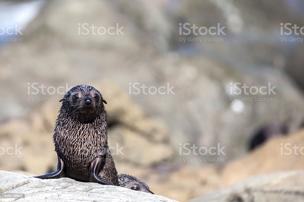 New Zealand Fur Seal (Arctocephalus Forsteri) stock photo