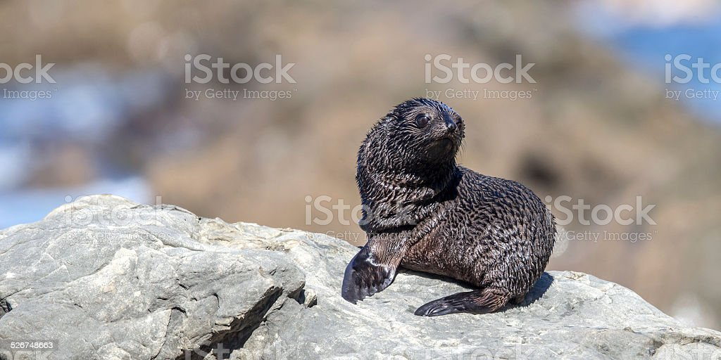 New Zealand Fur Seal (Arctocephalus Forsteri) stock photo