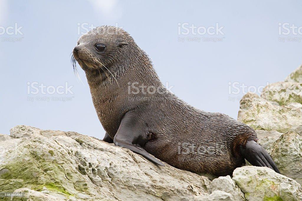 New Zealand Fur Seal Pup stock photo