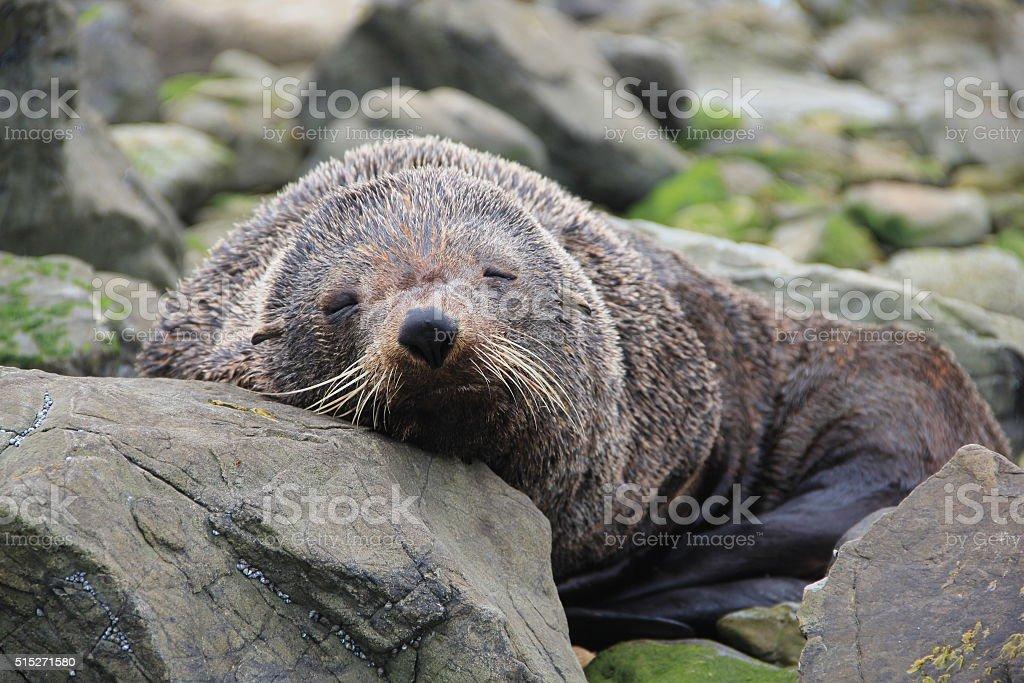 New Zealand Fur Seal sleeping stock photo