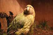 Endangered, rare and spectacular parrots endemic to New Zealand