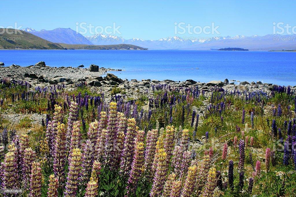 New Zealand lake Pukaki, lupine flowers and Mt Cook stock photo