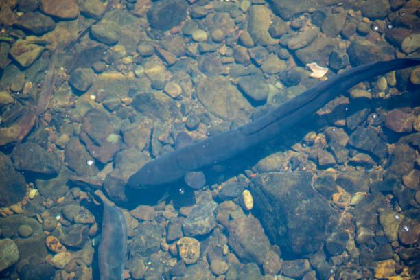 New Zealand: Longfin Eel stock photo