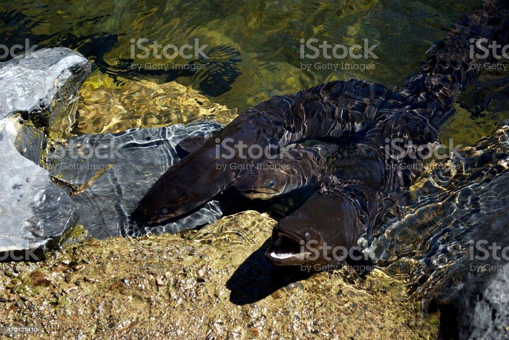 Nouvelle-Zélande Anguille Longfin (Anguilla dieffenbachii) - Photo