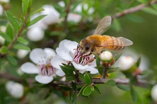Новозеландский Цветок Манкуа Из Которого Пчелы Делают Мед Манука С Целебными Свойствами — стоковые фотографии и другие картинки Leptospermum - iStock