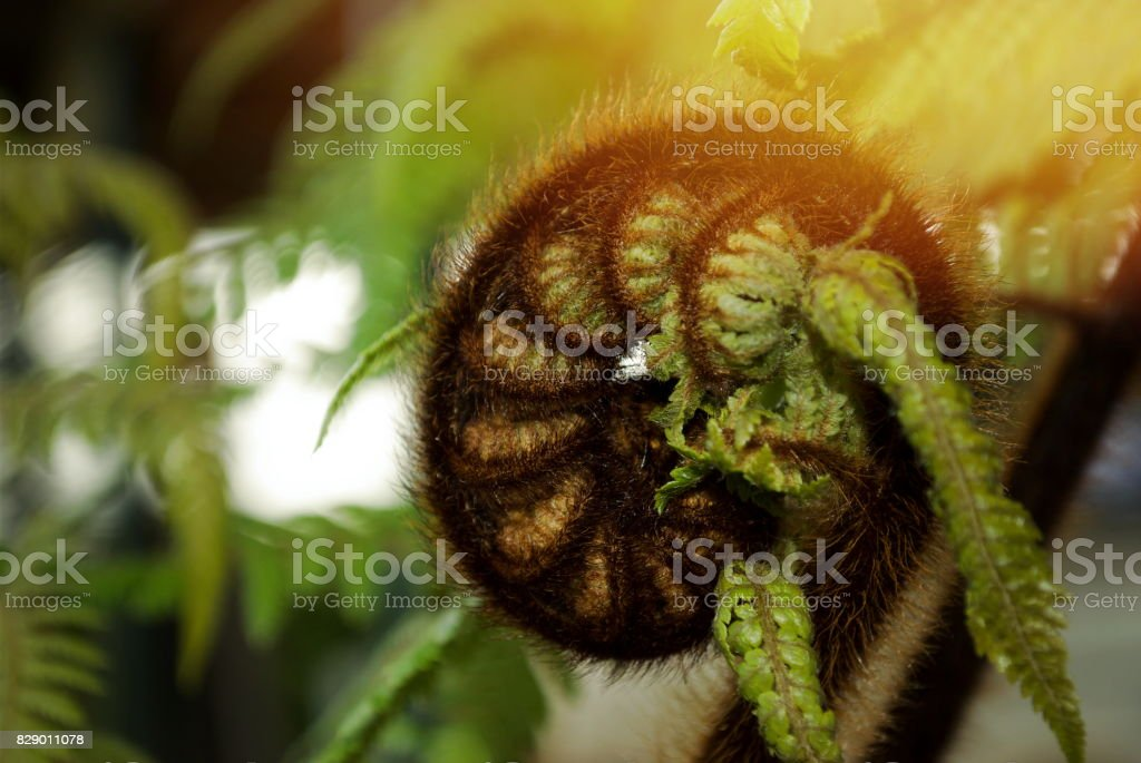 New Zealand Native Cyathea Dealbata (Ponga) New Fern stock photo
