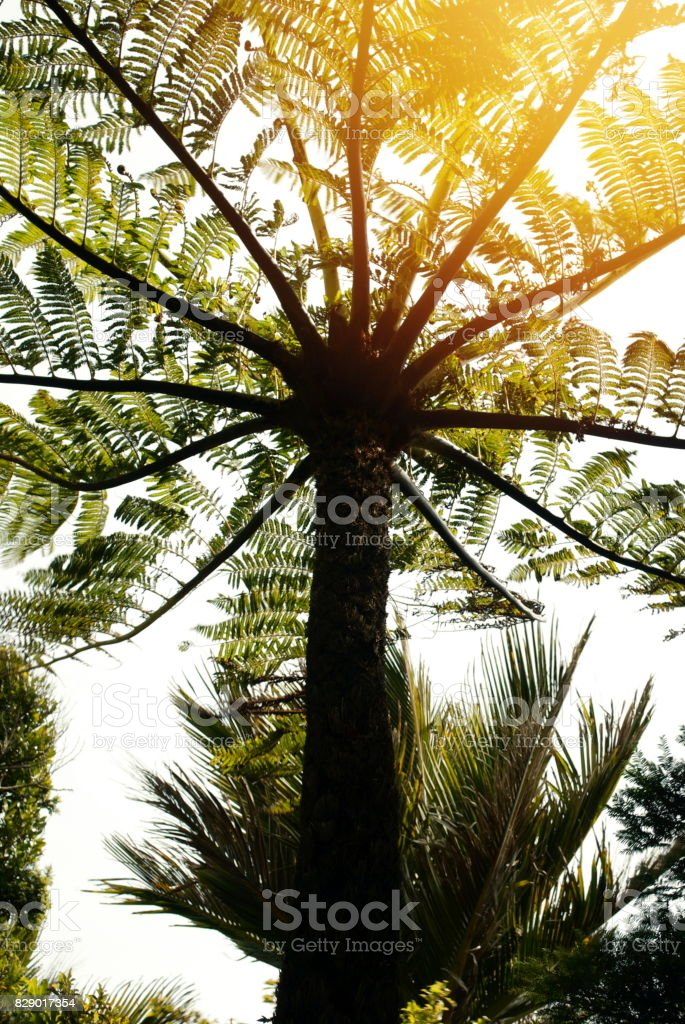 New Zealand Native Cyathea Dealbata (Ponga) Tree Fern stock photo