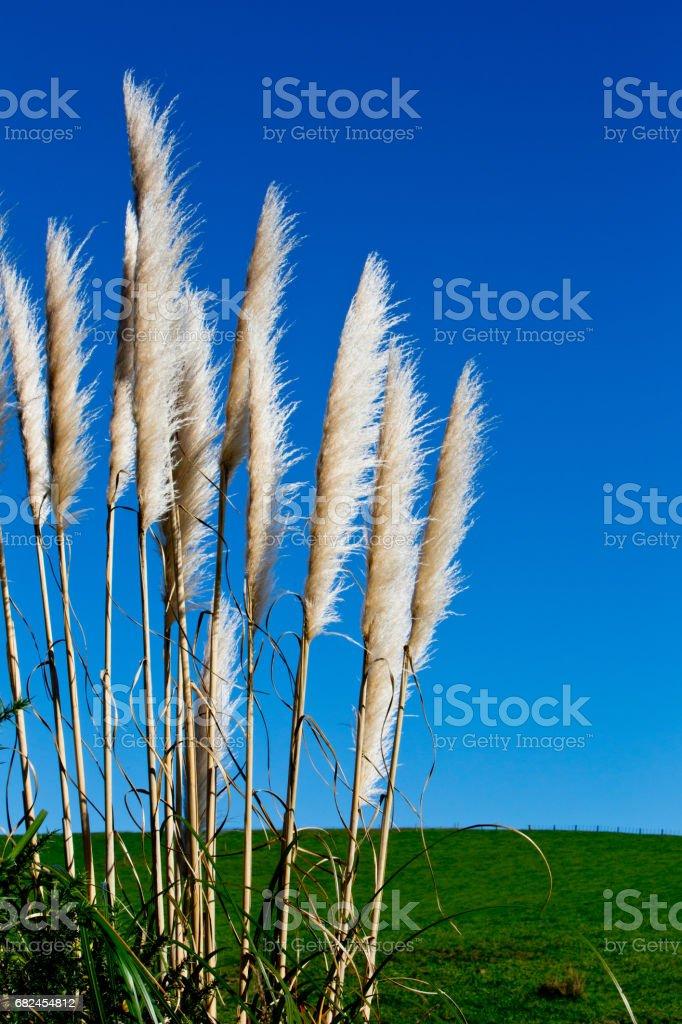 New Zealand native grass - Toitoi royalty-free stock photo