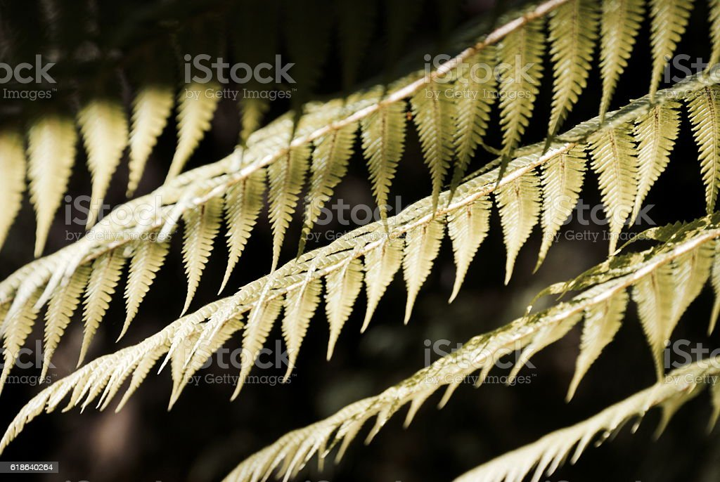 New Zealand Native Ponga or Punga Fern Frond stock photo
