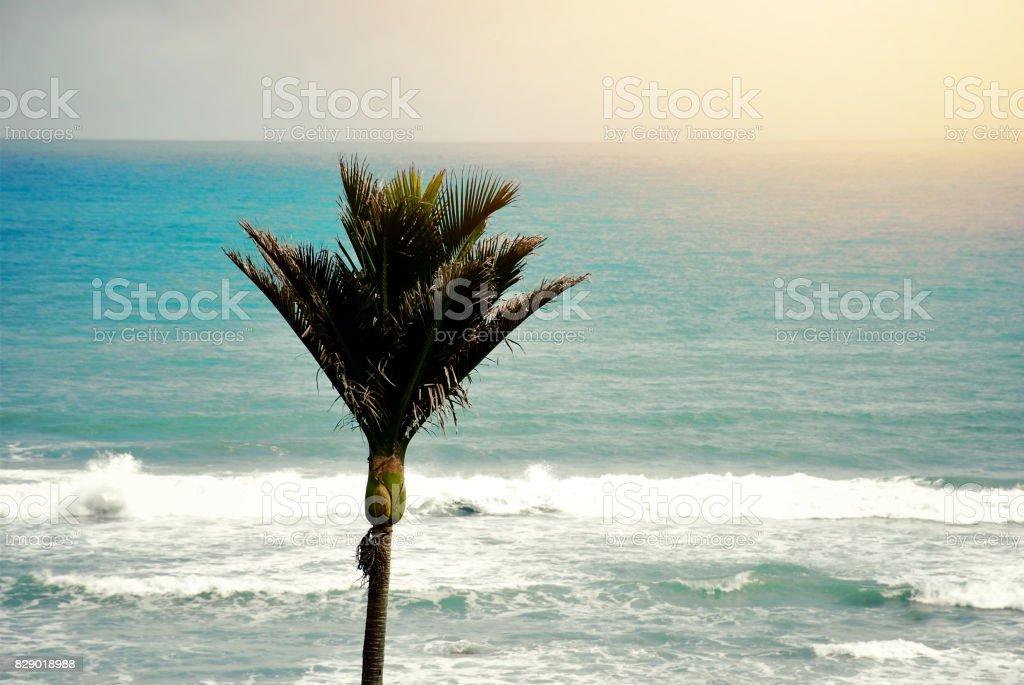 New Zealand Native Rhopalostylis Sapida (Nikau) Palm stock photo