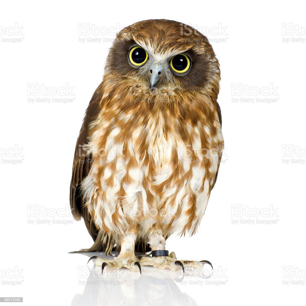 New Zealand owl royalty-free stock photo