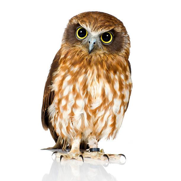 New zealand owl picture id93212162?b=1&k=6&m=93212162&s=612x612&w=0&h=rtjdw02enz7qur3nsb7r q3ef9lsekjx9vqzsm2lqni=