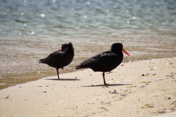 New Zealand oystercatcher on the beach stock photo