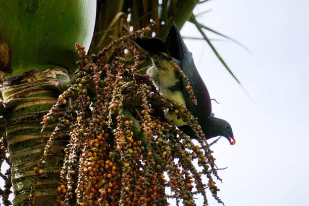 New Zealand pigeon  - Kereru stock photo